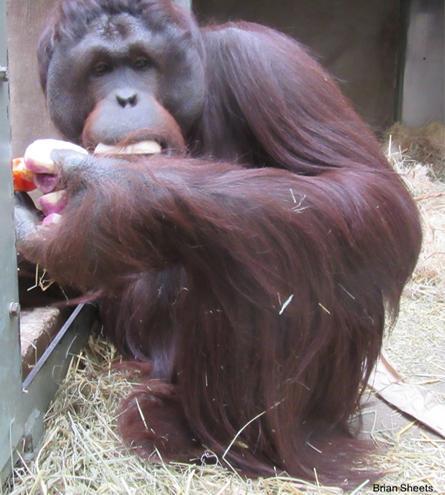 Denda the Orangutan