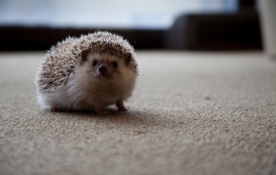 201212/hedgehog.jpg